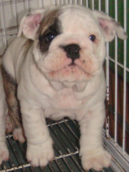Registered English Bulldog Puppies for Sale | UAG Medical ...