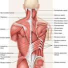 Paraspinal Muscles Anatomy Tag Thoracic Paraspinal Muscles Anatomy Human Anatomy Diagram