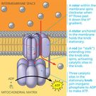 The ATP synthase protein complex functions as a mill, powered by the flow of hydrogen ions