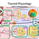 Thyroid Embryology,Anatomy, Physiology and investigations.