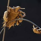 Magnified picture of adult louse.