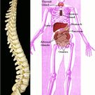 Together, the nervous system and the endocrine system regulate
