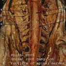 Medical Anatomy of the Spinal cord