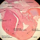 pituitary histology labeled  | Here is a labeled 40x viewof the hypophysis (pituitary gland) .