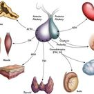 Medical Significance Of Hormones In The Endocrine System: Their Metabolism, Actions And Receptors.
