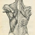 Human Back Human Body Anatomy Illustration #vintage #antique #medical