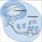 Within Nucleus DNA transcribes into messenger RNA when the base codes in DNA are copied.