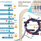 Glycolysis in the Cytoplasm and Citric acid cycle in the mitochondria