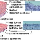 Transitional Epithelium - stretched and not stretched