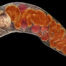 Trematode are leaf-shaped flatworms also known as flukes. They are parasitic during nearly all of th