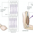 Muscle contraction and relaxation at the sarcomere level.