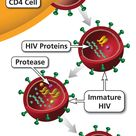 Protease inhibitors prevent viral replication by selectively binding to viral proteases