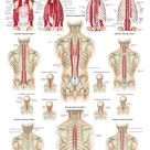Muscles of the Spine Laminated Anatomy Chart