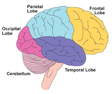 Basic map of the human brain