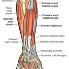 In human anatomy, the extensor indicis [proprius] is a narrow, elongated skeletal muscle in the deep