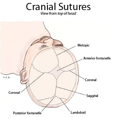 Cranial sutures viewed from top of head