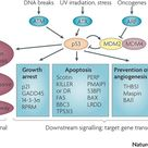 TJ. The p53 pathway responds to stresses that can disrupt the fidelity of DNA replication