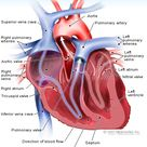 Heart Transplant: Learn About Guidelines and Surgery