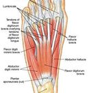 muscles on the foot