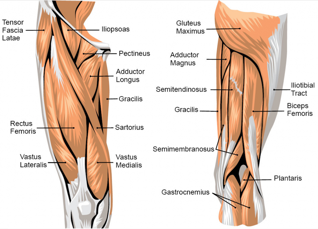 Upper Leg Muscles Anatomy - See more about Upper Leg Muscles Anatomy, upper leg muscle numbness, upp