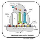 In molecular biology and genetics, translation is the process in which ribosomes