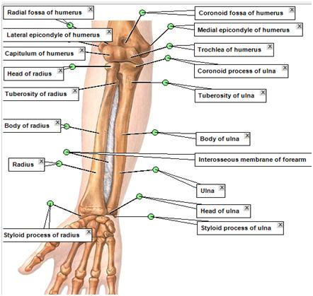 Upper limb anatomy.
