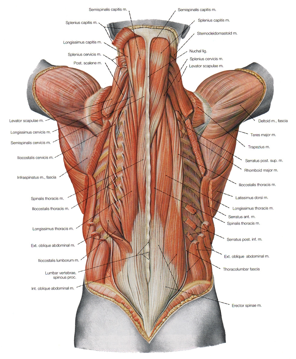 Muscle Names Of Lower Back Lower Back Muscles Names Human Anatomy Diagram, Picture of Muscle Names O