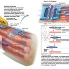 Neuromuscular junction - site of interaction between neuron and muscle fiber.