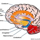 The Limbic System and Basal Ganglia