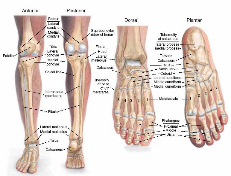 Leg Bones Anatomy | Bones of the Feet & Lower Legs