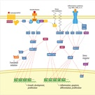 Mitogen Activated Protein Kinase (MAPK)