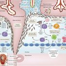 Key pathways involved in immune tolerance toward the fetus