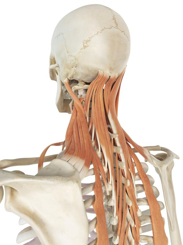 """Why does the """"spot"""" at your shoulder get so tight?: Levator Scapula Muscle - Attachments,"""