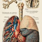 anatomy of the lungs   #pulmonary #heart #vintage #antique #drawing #illustration #medical #medicine