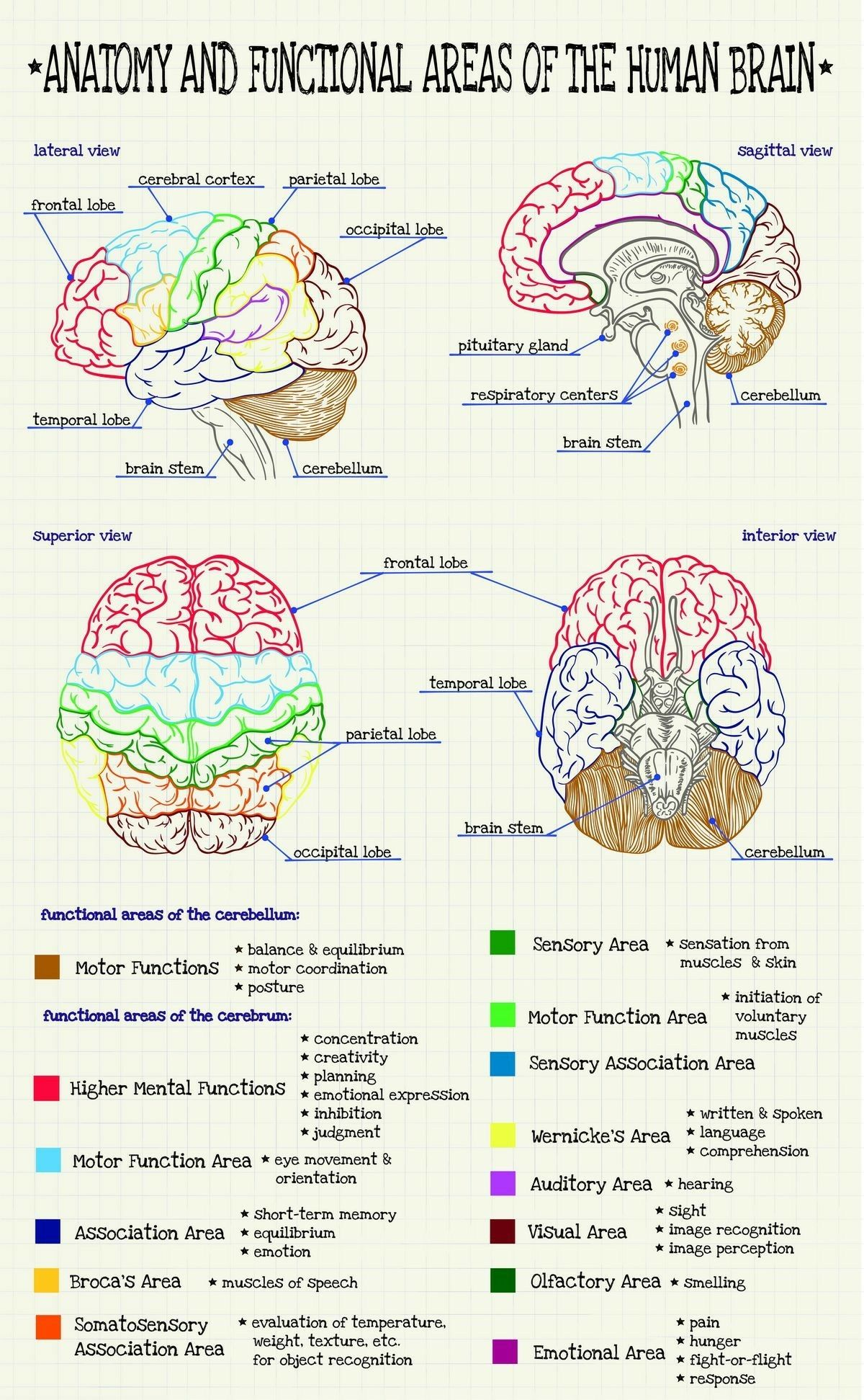 Anatomy and functional areas of the human brain