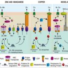 Metal ions in biological cells, essential for life