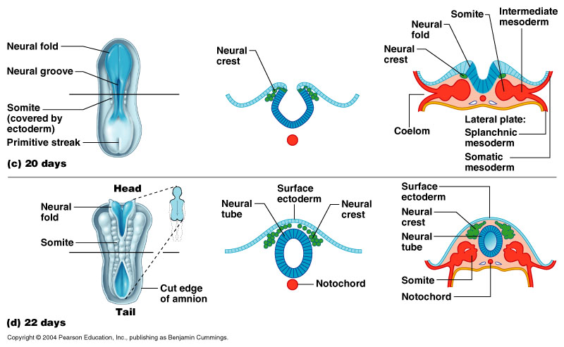The amniotic fluid-filled cavity surrounding