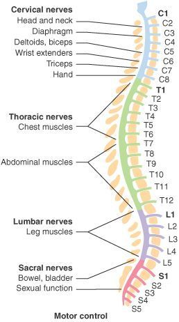 The spine is made of 33 individual bones stacked one on top of the other