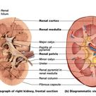 Notes - Urinary System. Kidney cross-section.