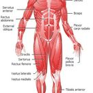 Muscular System front