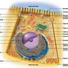 This photo provides an overview of the cell organelles