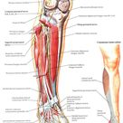 deep peroneal nerve innervation | Common Peroneal Nerve Anatomy