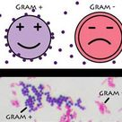 A positive gram stain result means the bacteria has a thick peptidoglycan layer in the cell wall tha