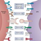 Co-stimulatory pathways that might modulate memory T-cell responses in transplantation