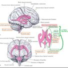 Ventricles anatomy