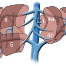 lobes of the liver