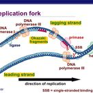 The replication fork is the area where the replication of DNA will actually take place