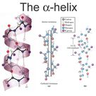 The alpha helix (α-helix) is a common motif in the secondary structure of protein