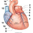 Circumflex Artery: supplies the left atrium and the posterior walls of the left ventricle.