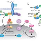 Notice how BTK is not only crucial for B cell proliferation